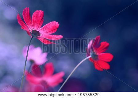 Brightly pink cosmeces on a blue background. Beautiful artistic image of flowers in the open air