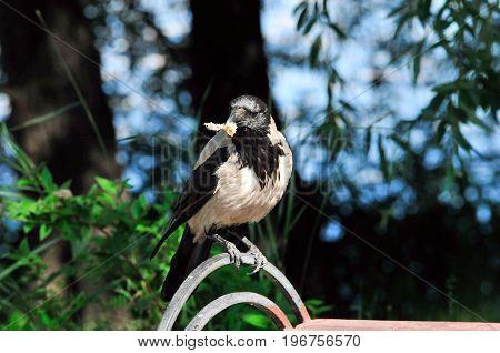 The hooded crow (Corvus cornix) is a Eurasian bird species in the Corvus genus.