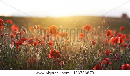 Poppies on green summer field in the sunset