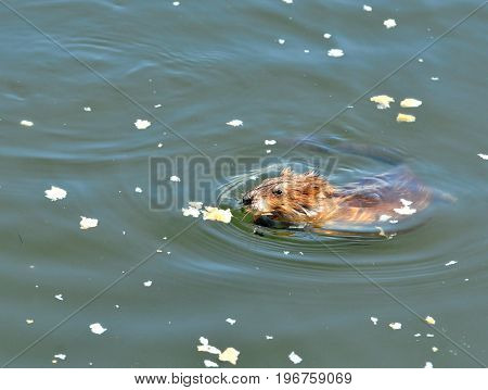 Muskrat. The muskrat (Ondatra zibethicus), the only species in genus Ondatra and tribe Ondatrini.