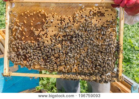 The beekeeper keeps a frame with larvae of bees. Honeycombs are developing larvae of bees future generation of beneficial insects. Closeup