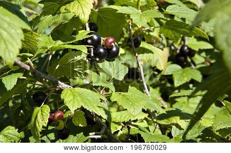 ripening berries of black currant in sunny light