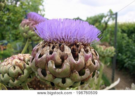Artichoke (Cynara scolymus) or could be a cardoon (Cynara cardunculus) purple flower heads in bloom with a hedge as background and white sky.