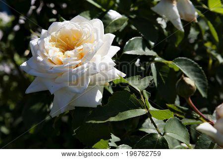 beautiful cream rose in bright morning sunlight