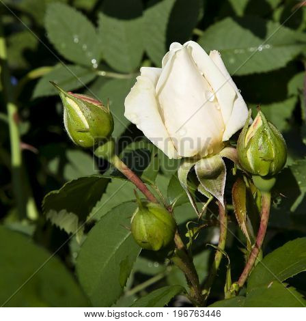 Bud cream roses with dew drops in morning sunlight