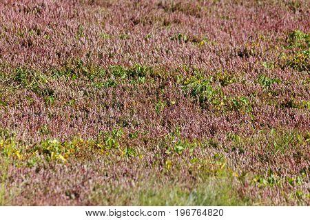 Cranberry plant in Richmond BC Canada. cranberry bog.
