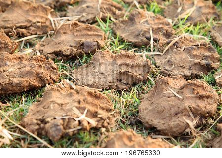 Pile of dry cow dung cakes. Drying on the sun