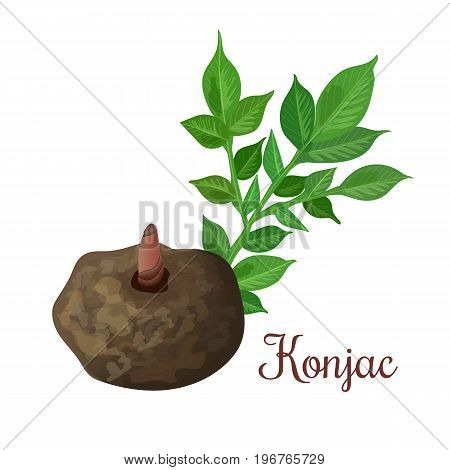 Elephant Yam or Konjac, konnyaku potato, devil's tongue, voodoo lily, snake palm. plant and root. Medicinal plant. Hand drawn botanical vector illustration. For cosmetics, health care