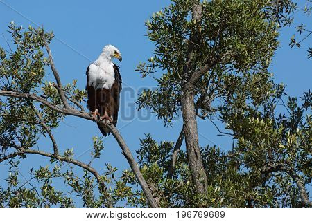 African fish eagle perched on a big tree in Kenya.