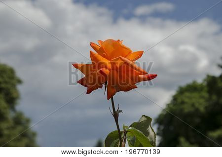Summer in the garden of a beautiful fragrant rose flower with green leaves against a blue sky background