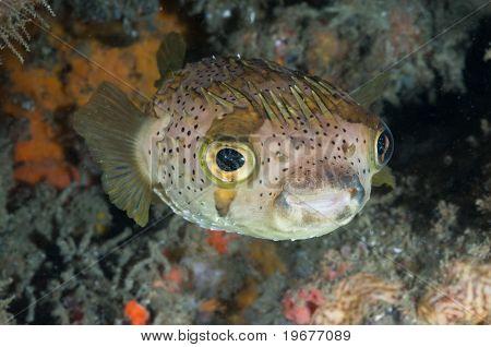 Masked balloonfish