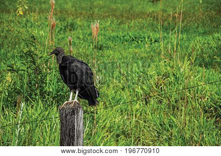 View of vulture on alert over a trunk fence near the town of Joanópolis. In the countryside of São Paulo State, a region rich in agricultural and livestock products, southwestern Brazil