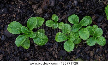 Corn salad with raindrops growing in soil - Valerianella locusta known as lamb's lettuce mache fetticus feldsalat nusslisalat nut lettuce rapunzel.