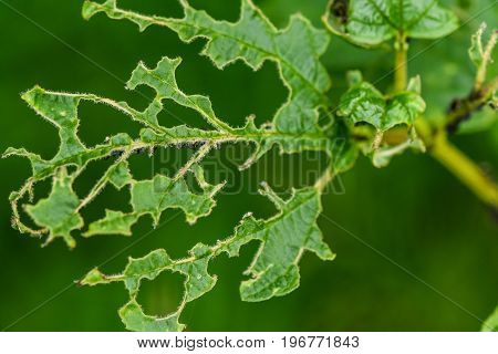 Aphids eat the leaves. the concept of insect pests aphids