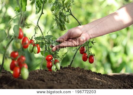 Hands touch plants of cherry tomatoes control quality and cure the vegetable garden