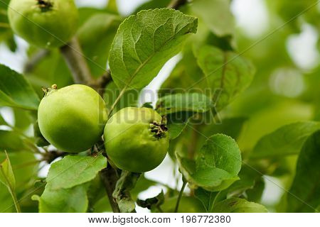 Ripening Apples On The Tree Closeup With Blur