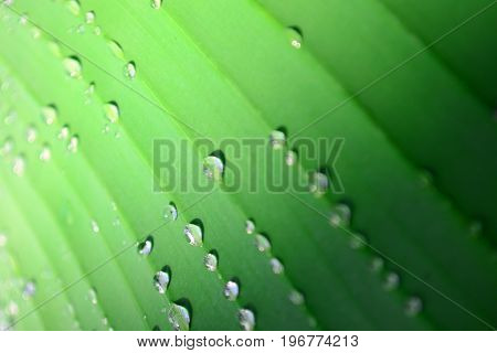 A banana palm leaf with drops of water after a rain close up. Pattern with transition from shadow to light