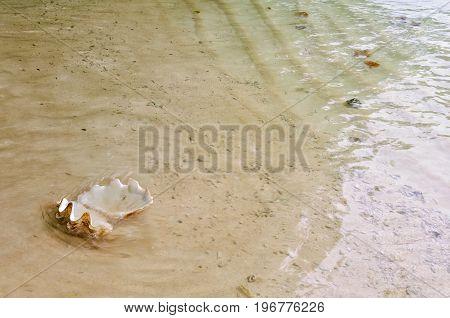 An empty open sea shell washed ashore - Espiritu Santo Vanuatu