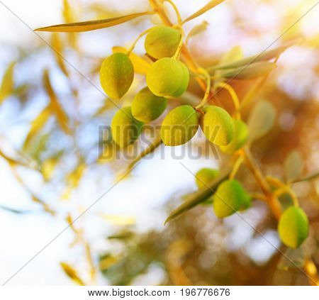 Olive tree branch over sunny sky background, bright autumn harvest day, fresh ripe vegetables growing in the garden, olive oil production, nature at fall
