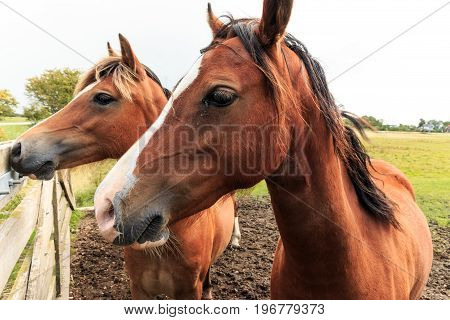 Two brown horses up close near a fence at a field