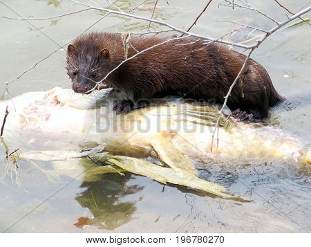 Lontra canadensis (North American river otter) and fish on a shore of the Lake Ontario in Toronto Canada July 21 2017