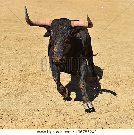 spanish bull in spain with big horns