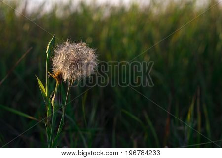 A fluffy plant that looks like a dandelion. Meadow plant.