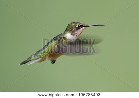 Juvenile Ruby-throated Hummingbird (archilochus colubris) in flight with a green background
