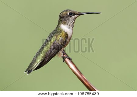 Juvenile Ruby-throated Hummingbird (archilochus colubris) on a copper perch with a green background