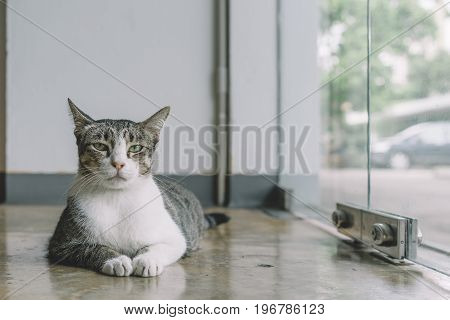 A Thai cat with gray and white color resting on the polish cement floor
