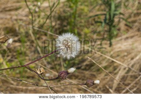 Dandelion Flowers On Fields Day Light Close Up Composition Photograph