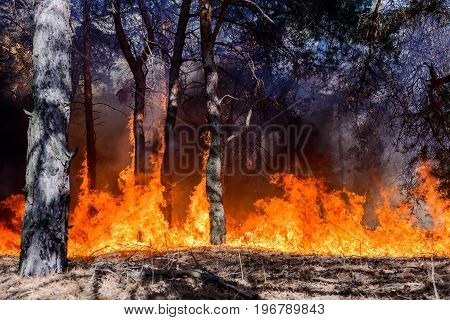 Forest fire. Burned trees after wildfire pollution and a lot of smoke.