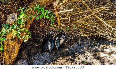 Nesting Penguins at Boulders Beach. Boulder Beach is a popular nature reserve and home to a colony of African Penguins, in the village of Simons Town in the Cape Peninsula of South Africa