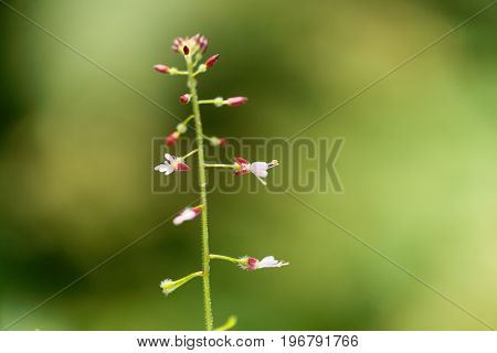 Macro photo of enchanters nightshade Circaea lutetiana.
