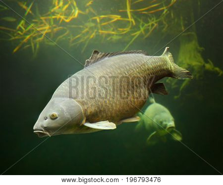 The Common Carp - Cyprinus carpio. Underwater photography from fish pond. In Central Europe ( Poland and Czech Republic ), fish is a traditional part of a Christmas Eve dinner.