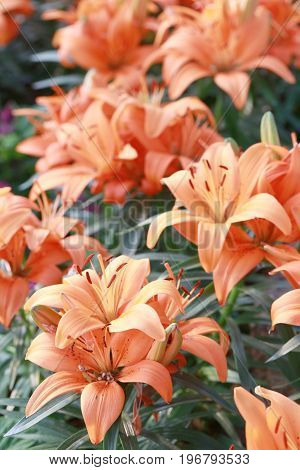 Lily flower of orange color bloom in the garden.
