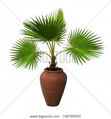 A palm tree in a flowerpot. Pam tree (Livistona Rotundifolia) in flowerpot isolated on white. Livistona Rotundifolia