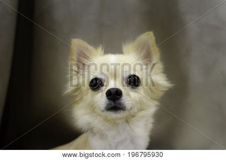 Close up Chihuahua dog looking like use the eye appeal to his owner. Selective focus on eye dog.
