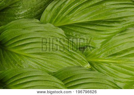 Hosta plants green leaves ecology background summer spring