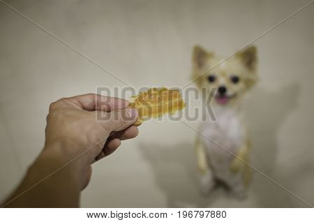 Chihuahua dog waiting for food. Selective focus on dog snack.