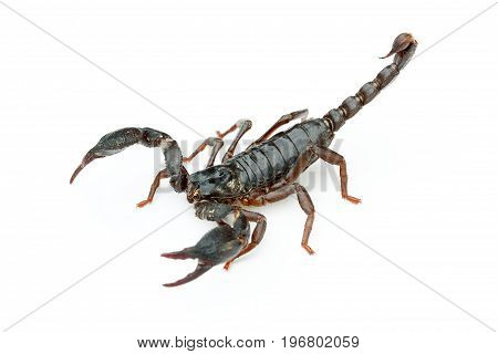 Asian giant forest scorpion (Heterometrus laoticus) on white background. H. laoticus is a member of giant forest scorpions (Heterometrus sp.) found in tropical and subtropical southeast Asia.