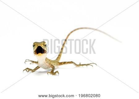 Oriental garden lizard/Changeable crested lizard (Calotes versicolor)(juvenile) on white background