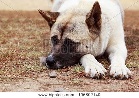 The dog breed American Akita a close-up
