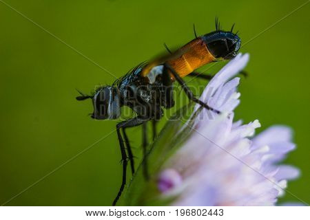 Cylindromyia brassicaria is a European species of fly in the family Tachinidae. The fly is shot close-up. She sits on a flower and rests. The background is saturated green.