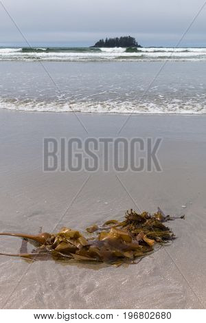 Sea kelp on beach shore with waves in background