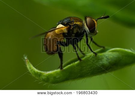 Gymnosoma clavatum is a species of tachinid flies in the genus Gymnosoma of the family Tachinidae. The tachina fly sits on a leaf and rests. Photo close-up on a dark green background.