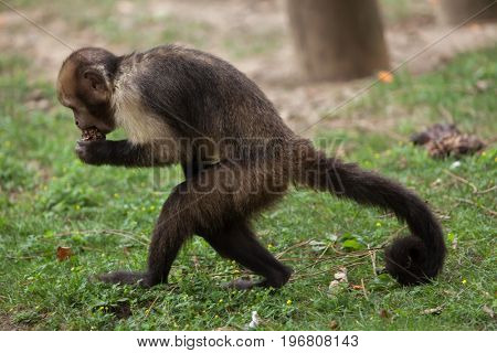 Golden-bellied capuchin (Sapajus xanthosternos), also known as the yellow-breasted capuchin.