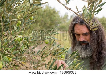 Farmer examining olive on plant in farm