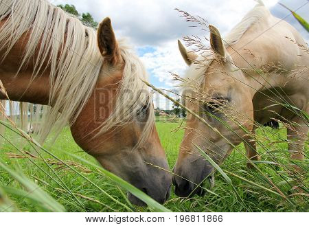 Two Horses are grazing in a field eating grass and touching noses in an apparent kiss.