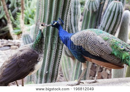Peacocks seen on Gran Canaria. Gran Canaria Canary Islands Spain